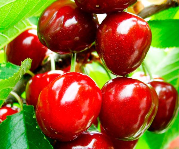Способы борьбы с вишневой мухой