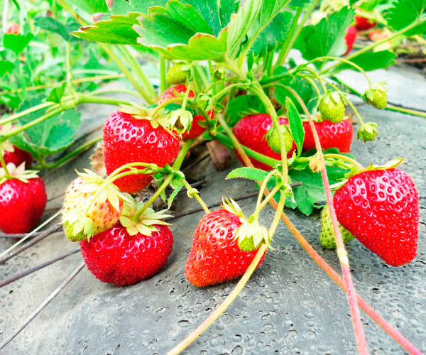 Proper irrigation of strawberries