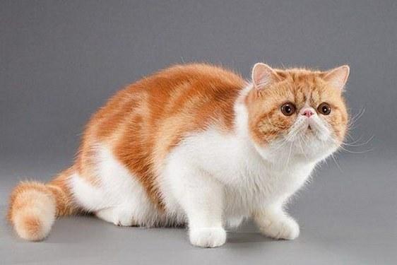 существуют породы кошек