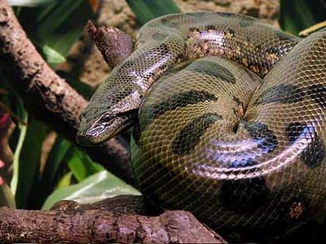 Несколько фактов об анаконде