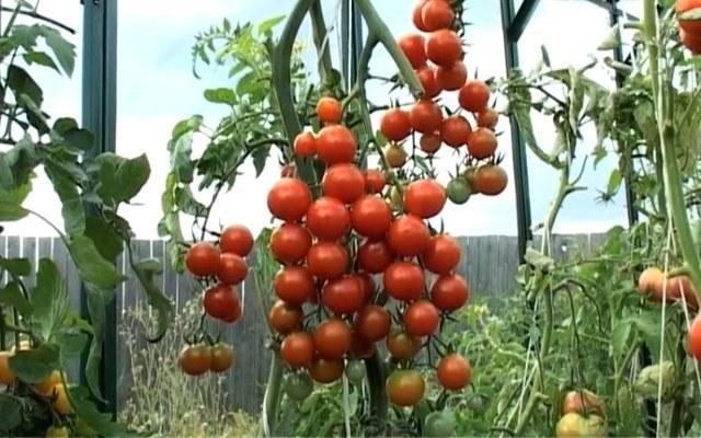 Какие семена помидоров самые лучшие