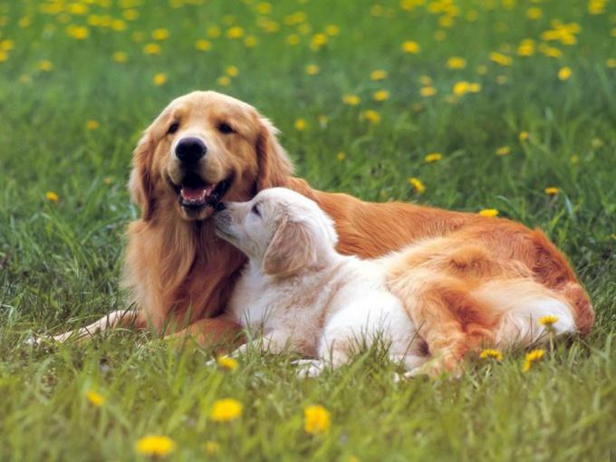Прерывание беременности может иметь летальный исход для собаки