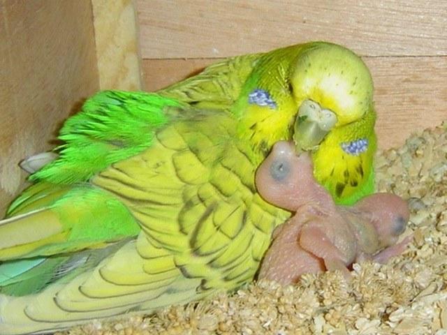 Как я понять, что попугай готовится к рождению детенышей