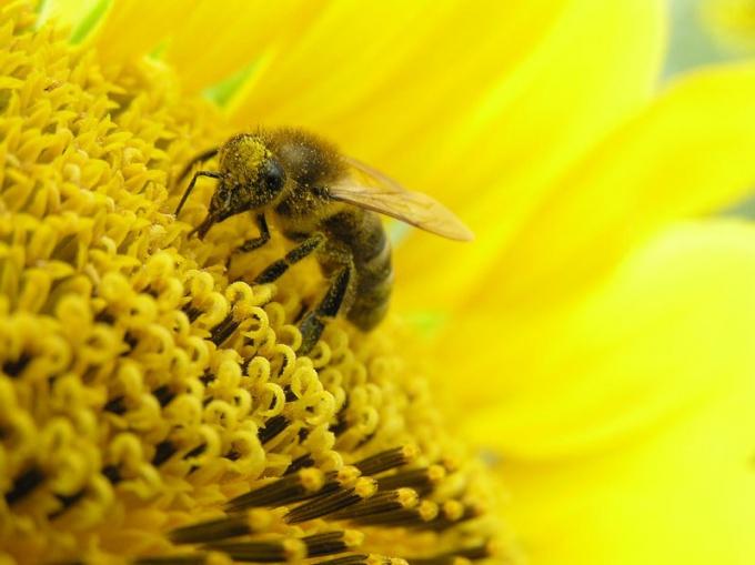 Как принимать пыльцу