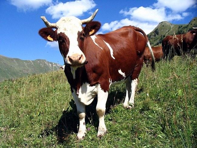 Крупный рогатый скот: источник бруцеллеза