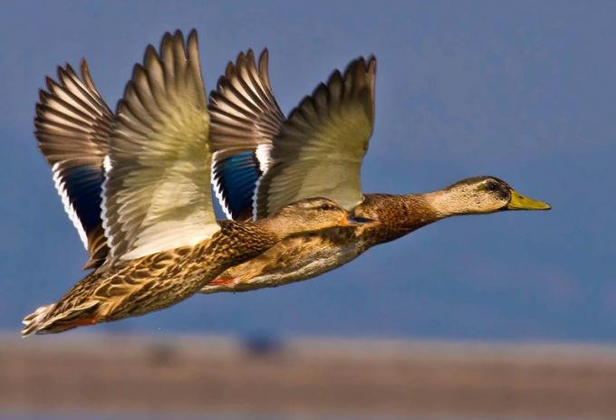 птицы считаются перелетными