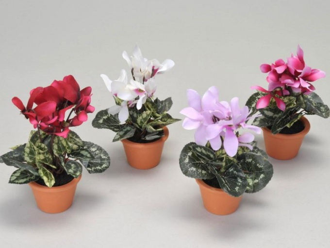 How to choose flower pot for cyclamen