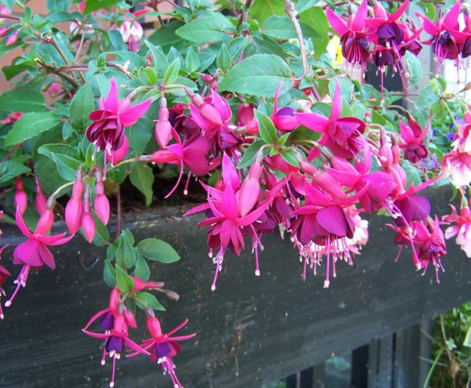 Fuchsia is propagated by seeds or cuttings
