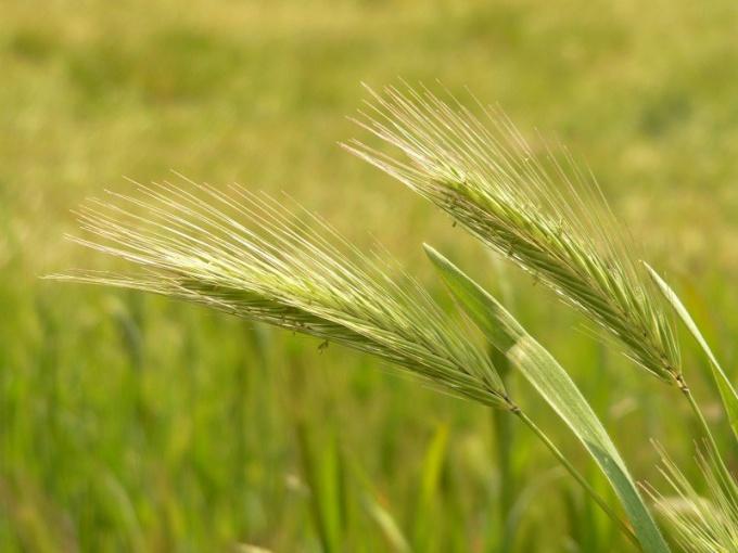 К каким зерновым культурам относится ячмень