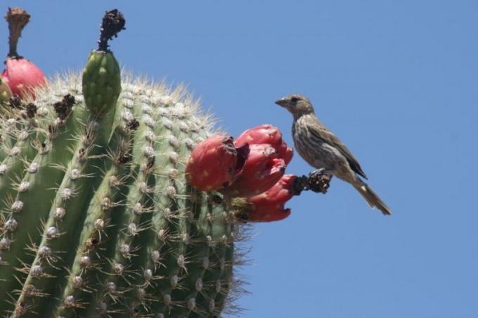 Кактус со спелыми плодами в естественной среде обитания
