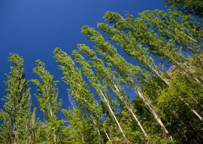 Какое дерево быстрее всех растет