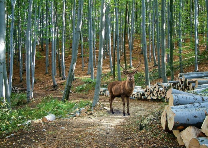 Вырубка лесов приводит к сокращению ареала оленей
