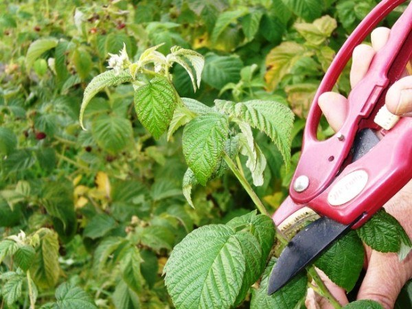 All about raspberries: how to care