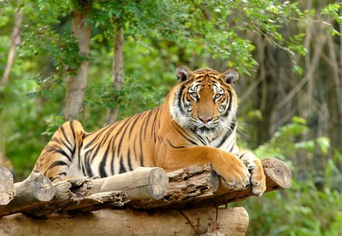 Какие тигры водятся в Индии