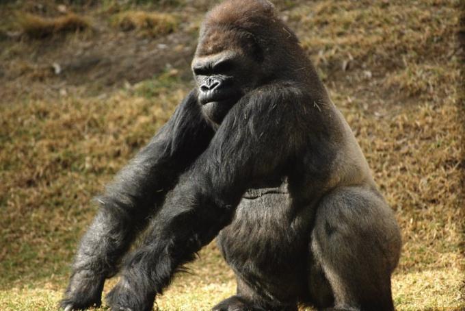 Горилла - самая большая обезьяна в мире