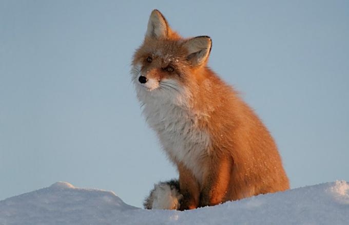 Как из себя выглядит лиса