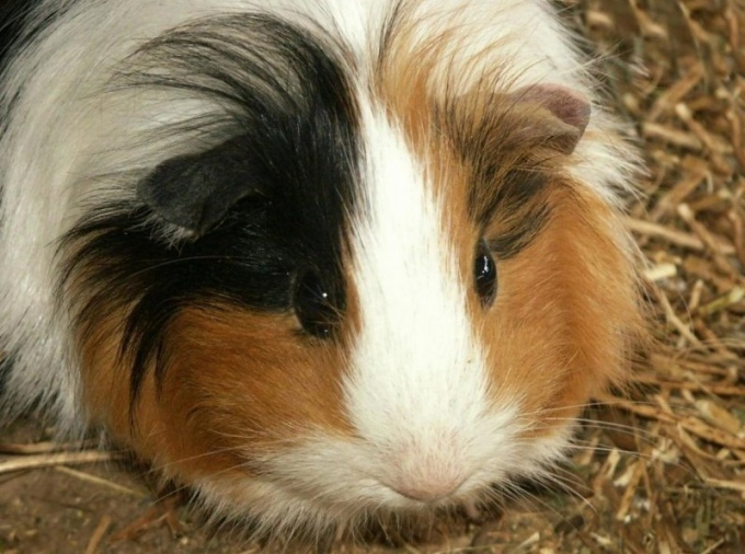 Guinea pig: how it looks