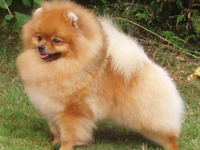 Decorative Spitz is like a little Teddy bear