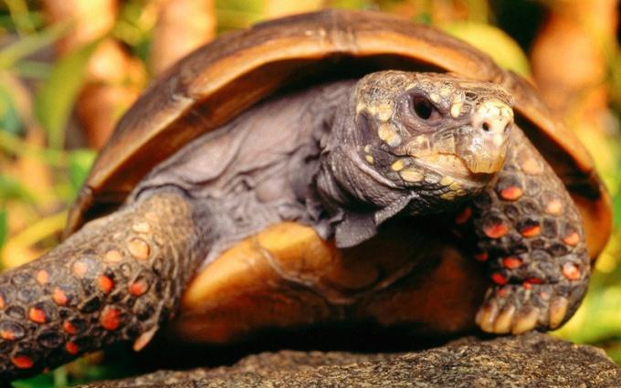 Угольная черепаха