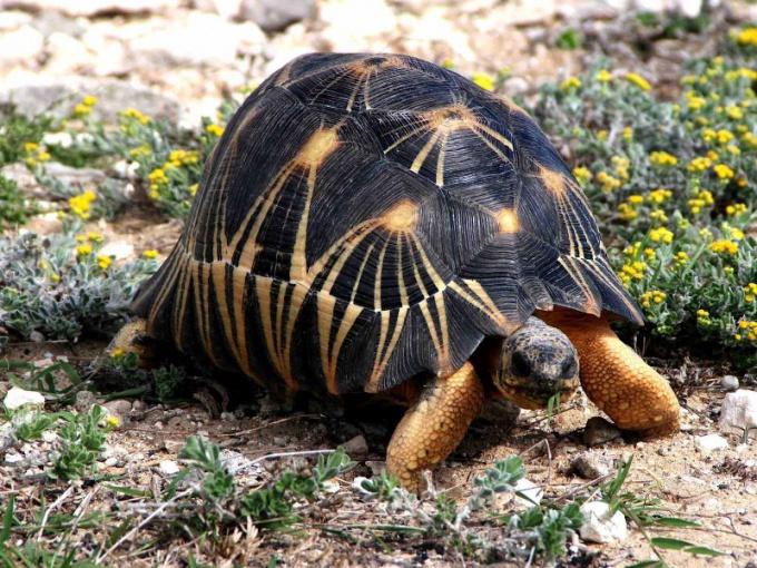 Лучистая черепаха