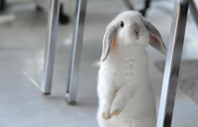 Кролику требуется регулярный осмотр ушей, правильное питание и хороший уход