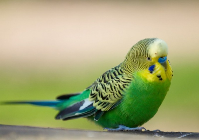 Волнистый попугай - птица умная, играть с которой одно удовольствие