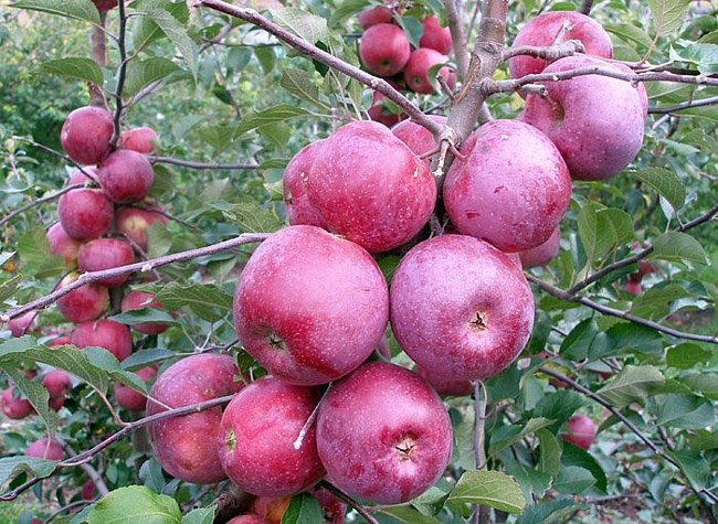 What Apple trees to plant in the suburbs