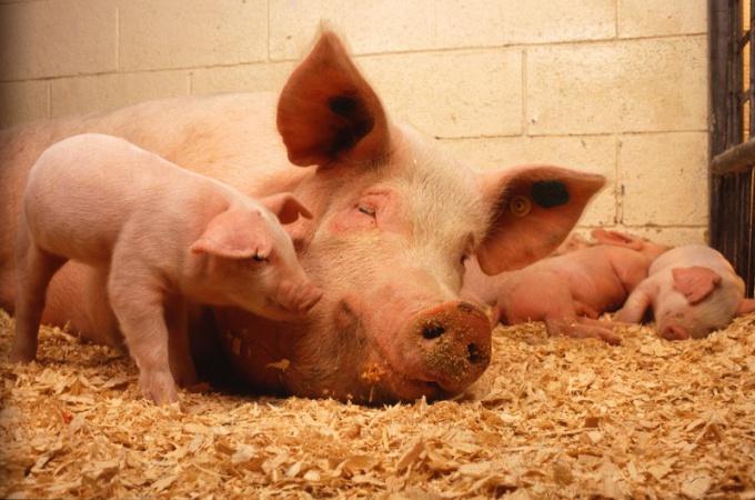 Свиньи анатомически ближе к человеку