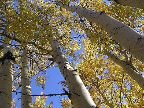 Aspen: looks like this tree