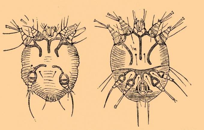 Самец и самка чесоточного клеща