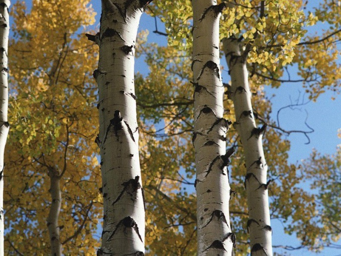 Looks like the aspen tree