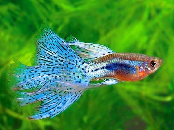 Как лечить аквариумных рыбок