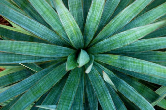 Все о юкке: как ухаживать за растением
