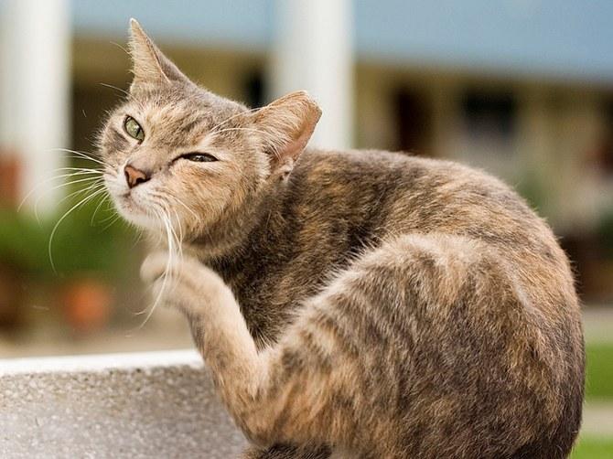 Как выглядят блохи у кошек
