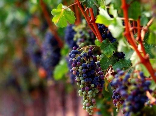 Как посадить и вырастить виноград
