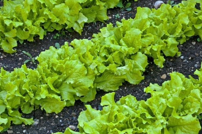 Почему сохнет салат