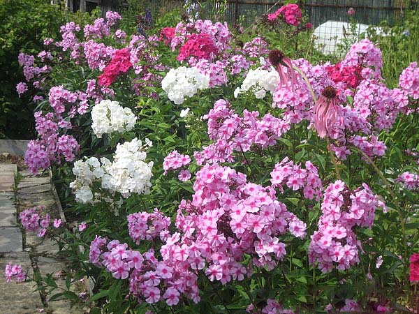 Why Phlox turn yellow, wither and the leaves fall