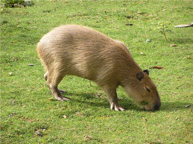 Kapibara_