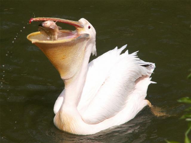 Pelikan_