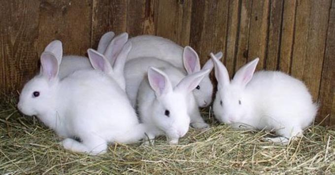 Разведение и откорм кроликов