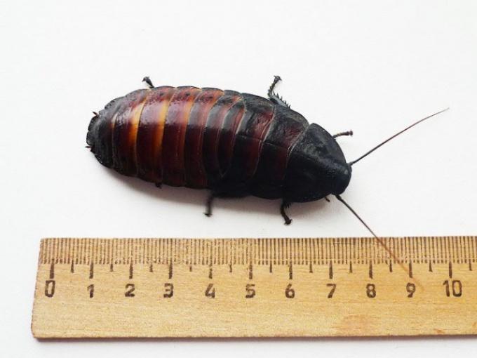 Какие тараканы могут шипеть