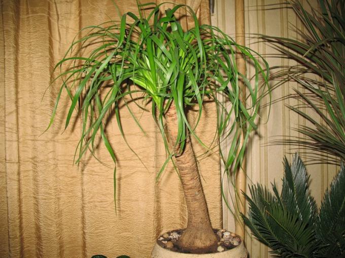 Нолина, выращивание и уход за растением