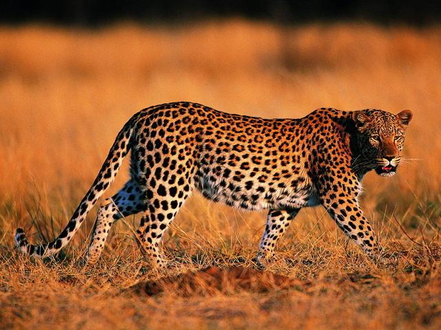 Какие известные дикие животные из семейства кошачьих