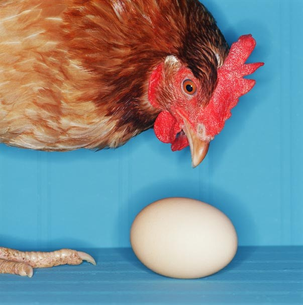 How to increase egg production of hens