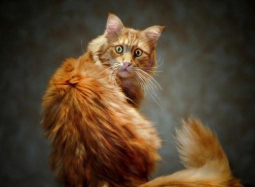 Зачем кошке нужен хвост