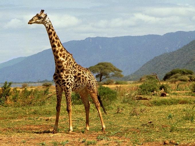 Жираф - самое высокое животное в мире