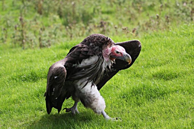 Гриф - самая свирепая и самая большая из всех хищных птиц!