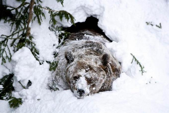 Медведи впадают в зимнюю спячку, чтобы защититься от холода и голода