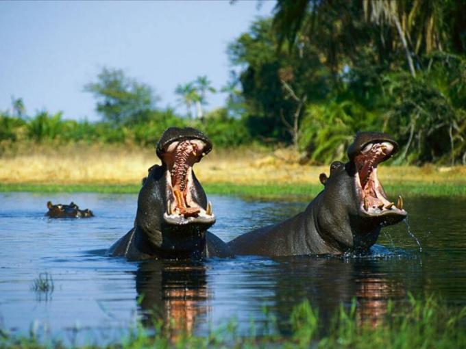 Бегемоты водятся исключительно в Африке