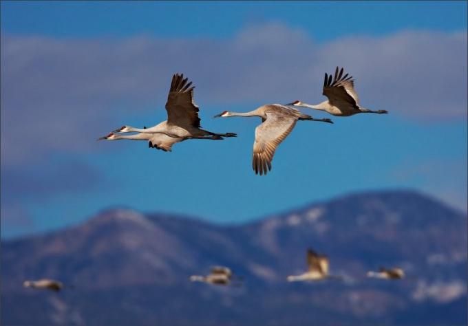 Журавли - красивые и грациозные перелетные птицы!